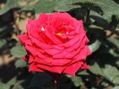 バラが満開です。平日なのにすごい人!