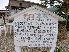 加計呂麻島に到着後、諸鈍のデイゴ並木に到着。生間港からすぐ近くで車で5分ほど。