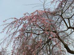 漸く北国の桜も咲き初めました。