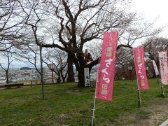 烏帽子山八幡宮から西側へ行くと桜は咲きそうで咲かない状態でした。木にははなさかじいさんの人形が登っていました。本当に咲かせてくれればありがたいが。