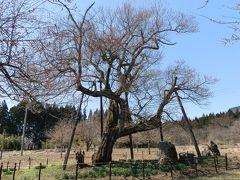 十二の桜です。エドヒガンザクラです。4月に入り、何回も雪が降ったとのことで、蕾は固く防御しているが如くでした。
