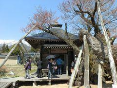 正面の建物は薬師堂です。右側の桜が「薬師ザクラ」です。