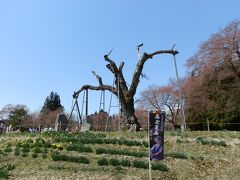 釜の越ザクラです。釜の越ザクラは、樹高20m、根回り6m、推定樹齢800年のエドヒガンの巨樹だった。それは見事だったという。「置賜さくら回廊」屈指の巨桜でした。