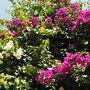 ブーゲンビリアかな?綺麗に咲いていました。  ハイビスカスも至る所に咲いている石垣島^_^ 那覇もそうか〜?