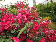 花火まで時間があるので山下公園のバラ園に。  ポートタワーとバラの組み合わせもいい感じです。(#^.^#)