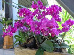 とっても綺麗な胡蝶蘭です 見事に咲き誇っています