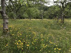 ここからは5月27日,今にも雨が降りそうな曇り空のもと,鏡山に登りました。 ここは鏡山公園の「桜の園」,4月初めにここに来たときは桜が7~8分咲き。花見客で賑わっていました。5月末になって,ずいぶん緑が目立つようになりました。また,一面にタンポポに似た黄色い花が咲いていました。柄が長く,タンポポではなさそうですが・・・