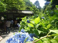 明月院  大勢の人がいたが、待ち時間も無くすぐに入れた。 鎌倉「アジサイ三大名所」は、明月院、長谷寺、成就院だったが、今は成就院の紫陽花が無くなってしまった。