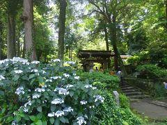 浄智寺にやってきた  参道の前にはアジサイが。