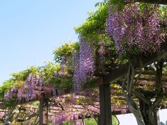 三永水源地の藤棚。三永水源地は呉市上下水道局が管理する貯水池で,堰堤横の広場は藤と桜の名所です。通常は立入りできませんが,毎年3月末からゴールデンウィークまでの期間は一般に開放され,花見客で賑わいます。今年はもう終了したので,この写真は昨年5月に訪れたときのもの。