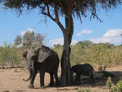 象の親子(11:30) 20分ほどヒョウを観察し、ここで折り返します。すると間もなく、子象を連れた象のファミリーに遭遇。今日は親子についてます。
