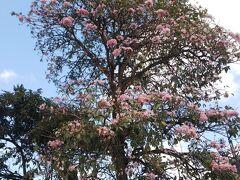 桜のような「タベブイア」の花