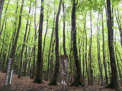 美人林  なかなか惹かれるネーミングだ  大正末期、ブナは木炭の材料としてすべて伐採された。その後、一斉に成長したブナの樹齢は90年ほど。整然と並ぶ姿の美しさから「美人林」となったらしい。