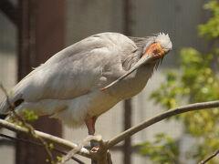 この個体、巣にいる個体より顔の色が薄いです。 去年生まれの幼鳥でしょうね。  (追記:Iペアのメスは2019年9月21日に死亡しました。     BOペアが移動し、2020年から公開されています)