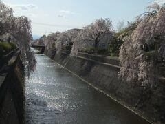 倉津川の枝垂桜  旅館の仲居さんには、もう散ってますよ~、と言われたのですが、全くそんなことなく、まだまだ美しく咲いていました。