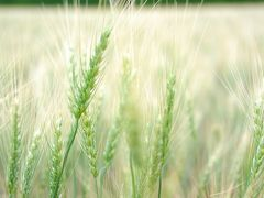 北瑛小麦の丘
