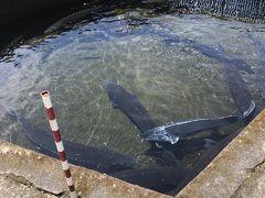 牧場から車で数分の流水苑へ  釣堀があるんですが、なぜかサメがwww