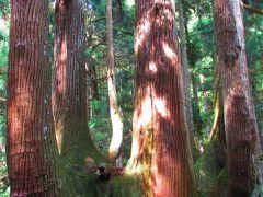 軽なら車道にはみ出さずに停められそうだった路肩スペースが1台分あったので、そこにちょっとの間だけ停めて写真だけ撮りに行きました。   近くから見ると、なんかすごい迫力! 4~6本ほどの杉が合体して生長したかぶら杉。 裏日本独特の樹形で、日本海側に生育するスギの特徴を良く表しているようです。