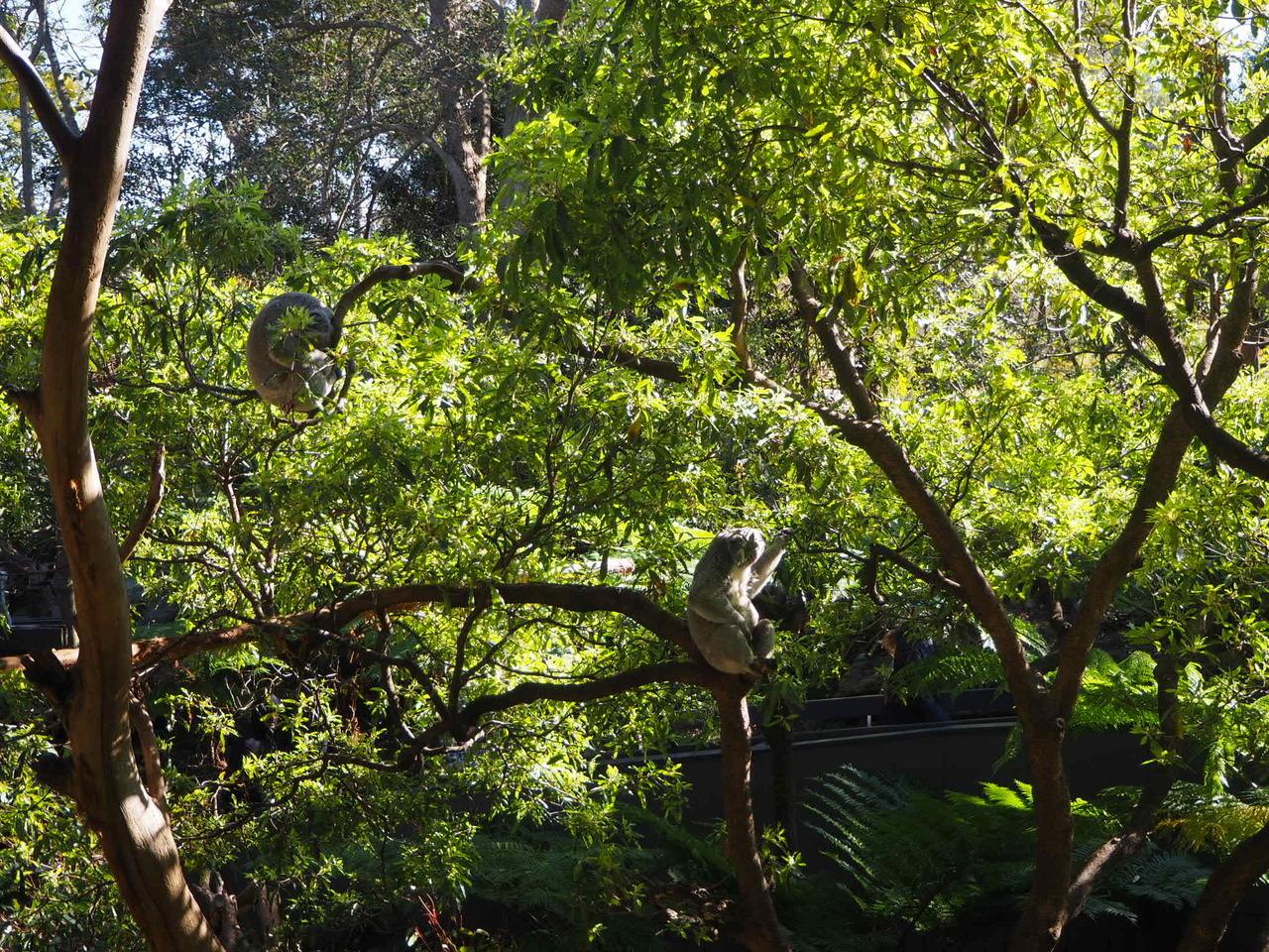 いざ動物園に着いて、やっぱ一番見たいのはコアラ!この写真わかりにくいけど2匹写ってます。コアラって大人しく木の上で寝たり葉っぱ食べてるかと思いきや、私が見た時は結構活発に動いてた!