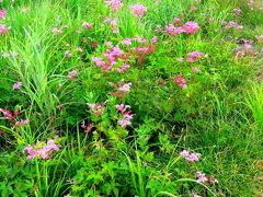 のっけからシモツケソウの群生  ここは斜面に作られた植物園 徒歩で登るのも良し、リフトを使うもよし