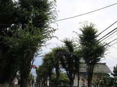 志木街道もケヤキ並木になっています。