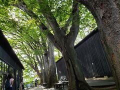 お土産屋の中庭には立派な欅の木が! 他の観光客も見上げて写真を撮っていました。