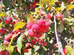 ファーム富田に移動しました。 最初に目に入ったのが、たわわになっているヒメリンゴ。