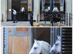 図書館を出たら、厩舎が見えて、 のぞくと、馬たちがいたー。 ハプスブルグ家で重用された リピッツァナーという白馬たちです。