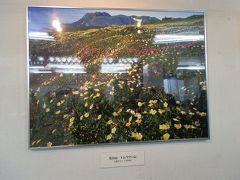 黒岳ロープウェイ黒岳駅に「花の山 トムラウシ山」の写真が飾ってありました。様々な色の花が咲き乱れる写真です。この花々に魅了され、トムラウシ山へ無理を重ね向ったのかな、と脳裏を過りました。