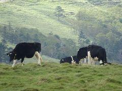 放牧されている牛たちは肉牛なのかしら