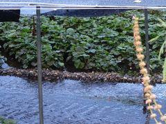 山葵田には綺麗な水が要るし日差しも駄目なので一面黒シートで覆われてます