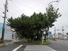 さて、元馬市の松の木が見えてきました。