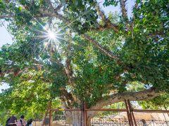 アヤナパ修道院 南門前にある、樹齢600年を超えると思われるプラタナスの木。