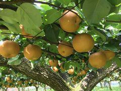 安田果樹園で梨狩り、栗拾い、巨峰狩り