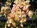 2日目の朝はちょっと早めに起きて主人とウォーキングしました。 このお花たくさん咲いてて綺麗だった。