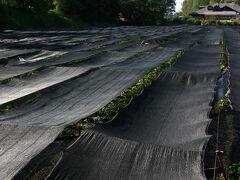 水車小屋を離れ、農場内の山葵田を見て回る。 日差しが強い季節、光を遮るものが無いところでは、黒い日除けを掛けるそうだ。 『寒冷紗(かんれいしゃ)』と呼ばれるもので、山葵田に限らず、茶畑などでも使われるものだ。