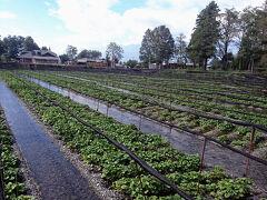 その恵みの最たるものが、山葵。 山葵の生産量が日本一の長野県の中でも、安曇野は一大生産地だ。 県内生産量の9割を占めるというから、ほとんどが安曇野産と言うことになる。 ここ大王わさび農場は、その安曇野でも群を抜いた広さを誇る。 広大な山葵田の風景は、ここだけのものだ。