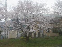 郡家駅の辺りでついに桜前線に合致しました。