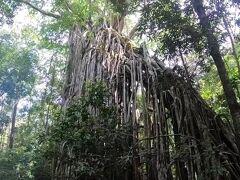 カーテンフィグツリー。巨大な木が別の木に侵食されて倒れてる最中、みたいなやつ。