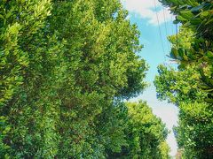 備瀬のフクギ並木 光沢があってまぁるい厚みのある葉の樹木。 青空にまっすぐに伸びる様は見ていて本当に気持ちが良い。