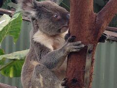 次はコアラガーデンへ。 ここでもコアラを抱けますが、私たちのツアーには入っていなかったので、抱きたい人は各自で。 飼育員の話によると、コアラの脳みそは500円玉くらいの大きさしかないそうです。 間近で見られるので楽しいです。