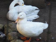 園内にある「悠久山小動物園」(  https://www.tripadvisor.jp/Attraction_Review-g1015933-d13018889-Reviews-Nagaoka_Educational_Facilities_Yukyuzan_Small_Animal_Zoo-Nagaoka_Niigata_Prefec.html  )にいるコハクチョウとアヒルさん。