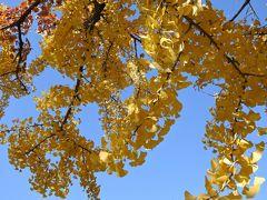 興聖寺と朝霧橋の間、蕎麦処第五精進丸の近くに、なかなか立派なイチョウの木がありました。少し葉が散り始めていましたが、色づきは素敵です。