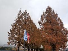 まーきの! 続いてはマキノエリアにある「メタセコイア並木」。  しかし、あいにくの雨。なのに混雑w