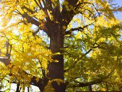 そんな綺麗な黄金色に染まる境内の中に、一際大きく存在する立派なイチョウの木 この大木はなんと樹齢約600年! つまりは応永年間に植えられたものでして、東京都の天然記念物にも指定された、「子授けイチョウ」「子育てイチョウ」としても親しまれている大変有難い大イチョウの木なんですよ