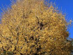 八芳園のイチョウの黄葉が青空に映えます