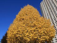 明治学院大学のイチョウの黄葉も青空に映えます