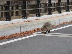 野生の狸が宿の周りを歩いていました