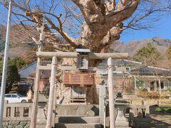 お宿のすぐ脇の小道を上がっていくと、こちらも境内社の住吉神社。お社を守るように、巨大なケヤキが!