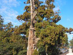 12月29日(日) 今日もいい天気。 レンタカーで吉備路を廻ります。 岡山中心部から出た辺りから、国道が狭くなってきた。 北海道民としては、広々とした道路になれているので、一車線で、対向車と接触しそうな狭さの道路は、正直怖い。  最初に訪れたのは、吉備津彦神社です。 ご神木は、樹齢1000年以上の平安杉。